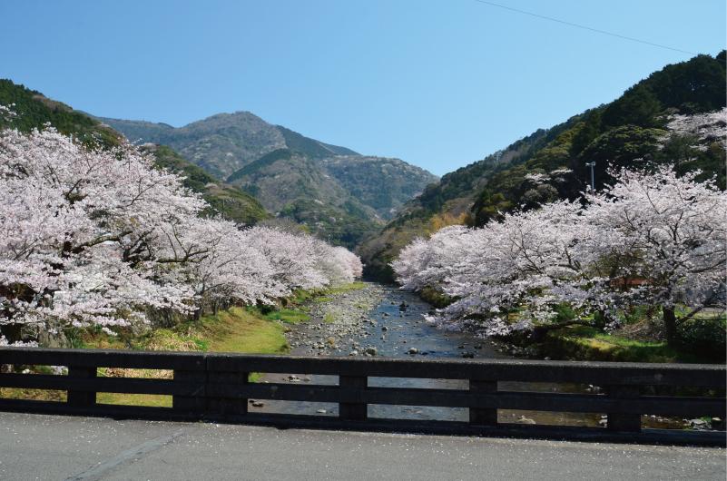 大澤温泉の桜並木