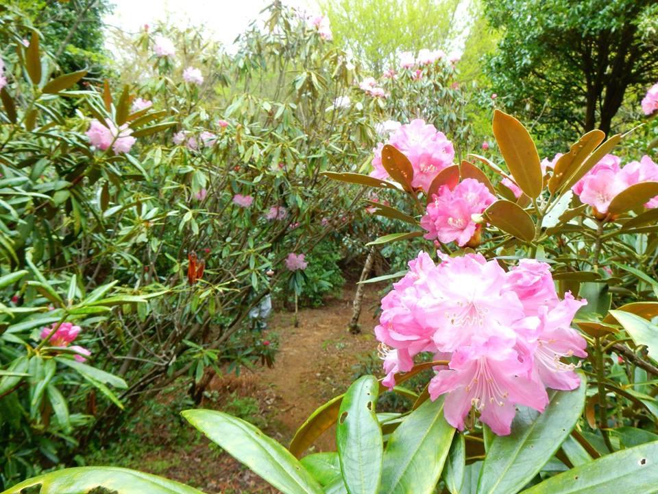 「長九郎山のシャクナゲ」の開花情報です。