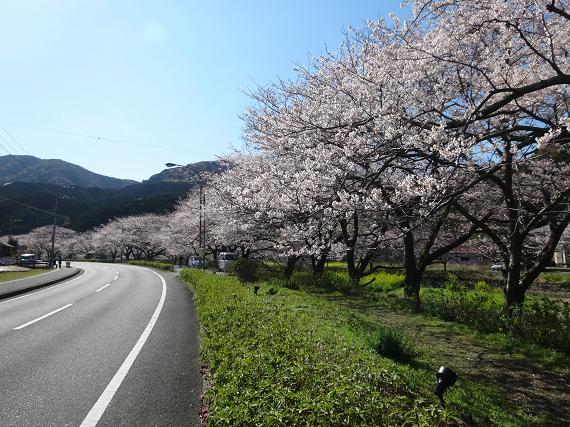 那賀川沿いの桜 開花情報