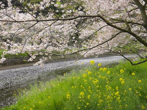 【2015年開花情報】那賀川沿いの桜