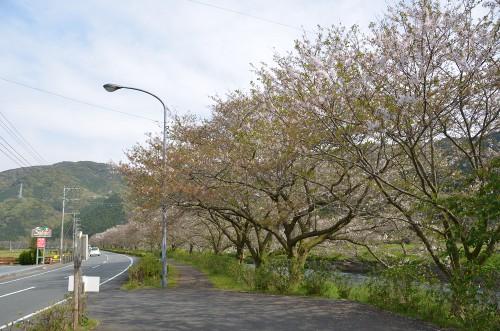 2016年4月11日(月)那賀川沿いの桜並木 開花情報