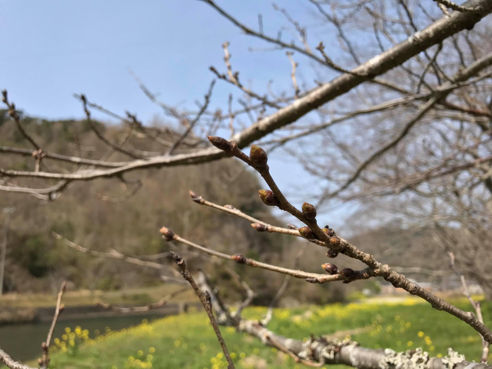 3/18(土)那賀川沿いの桜並木の開花情報です。