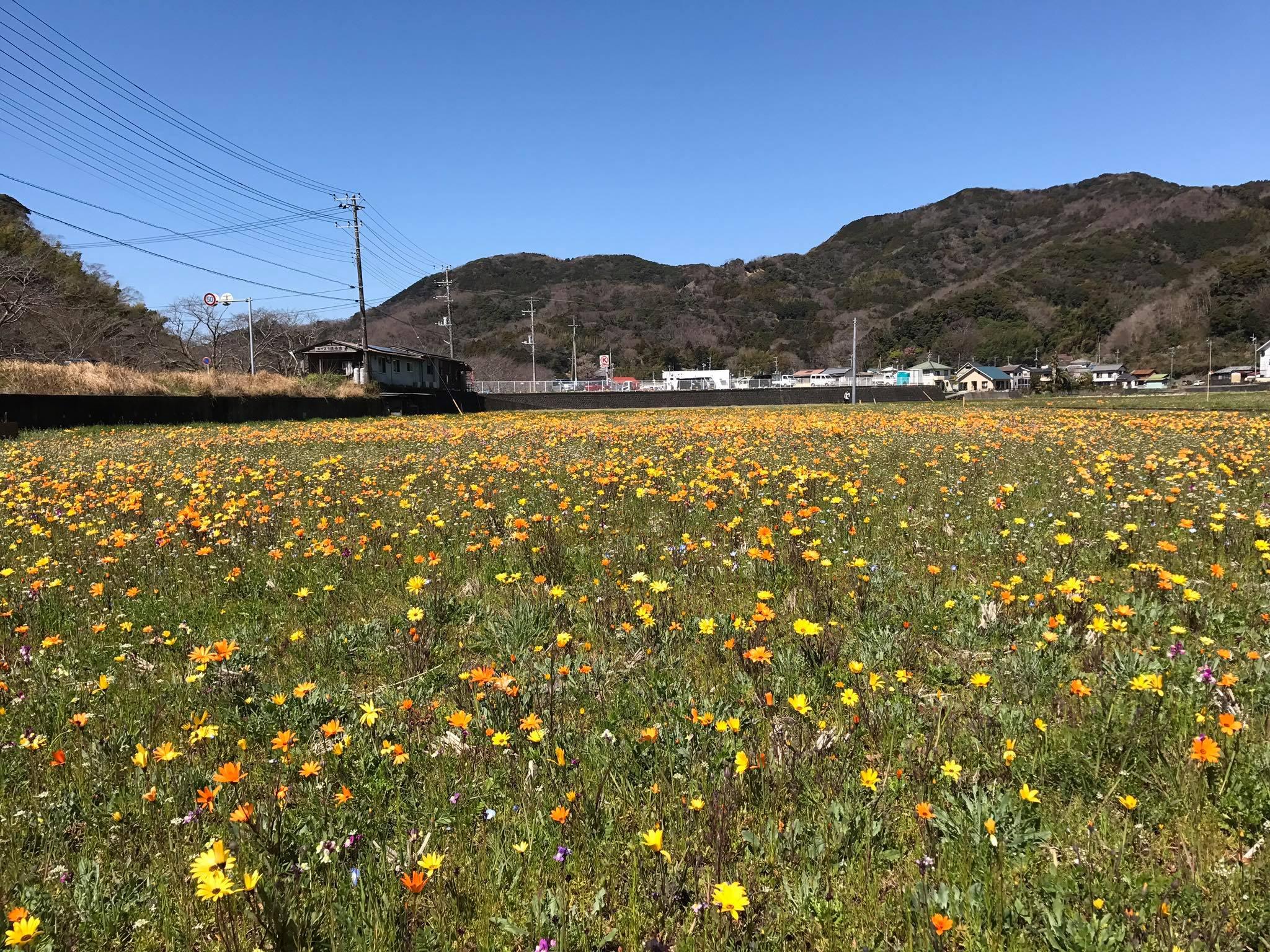 3/15(水)田んぼをつかった花畑の開花情報です。