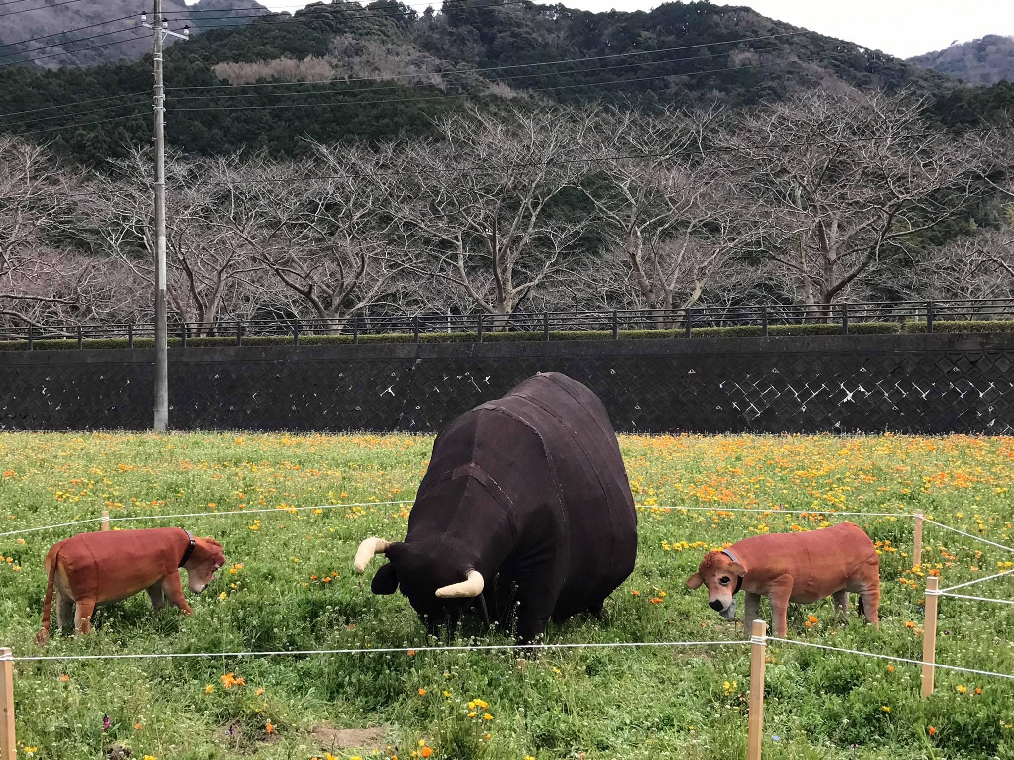 田んぼをつかった花畑に小さなウシの案山子も設置されました!