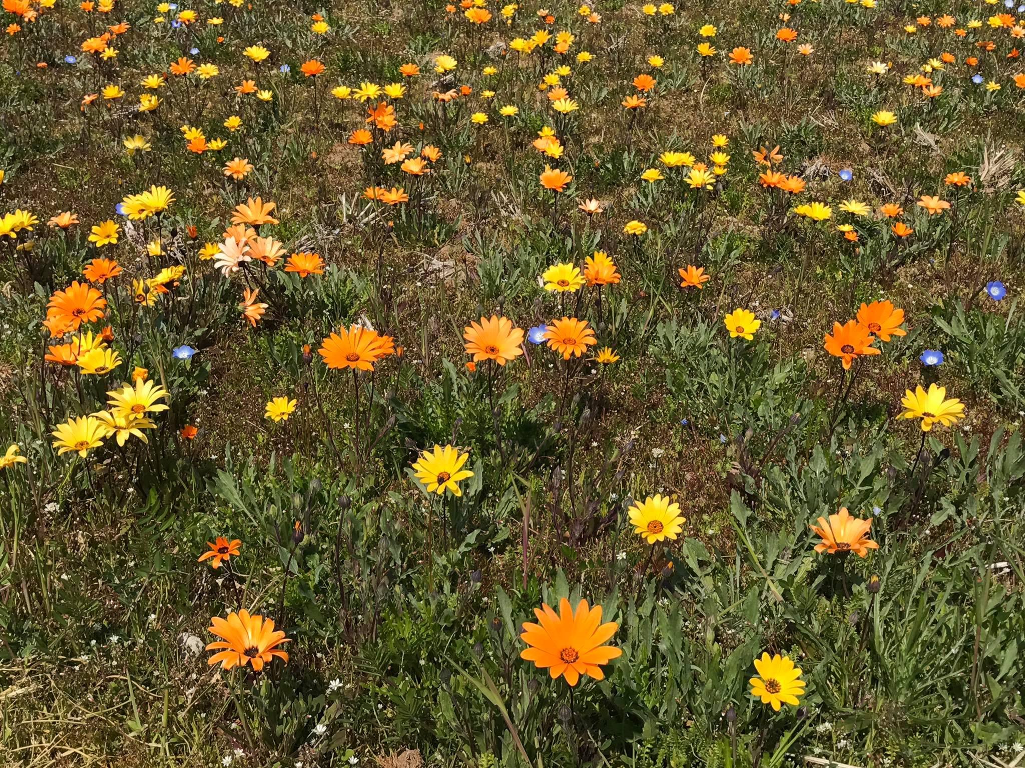 3/19(日)田んぼをつかった花畑の開花情報です。