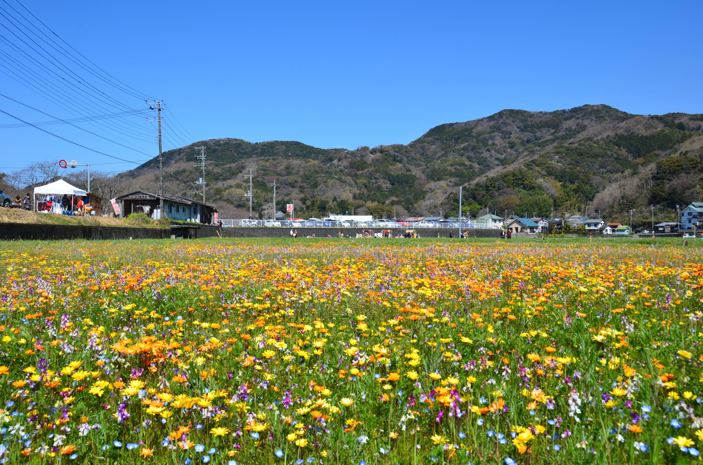 4/3(月)田んぼをつかった花畑の開花状況です。