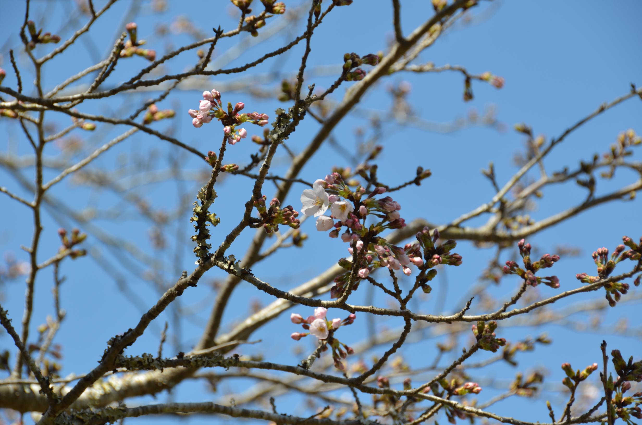 4/3(月)松崎町ソメイヨシノ開花状況です。
