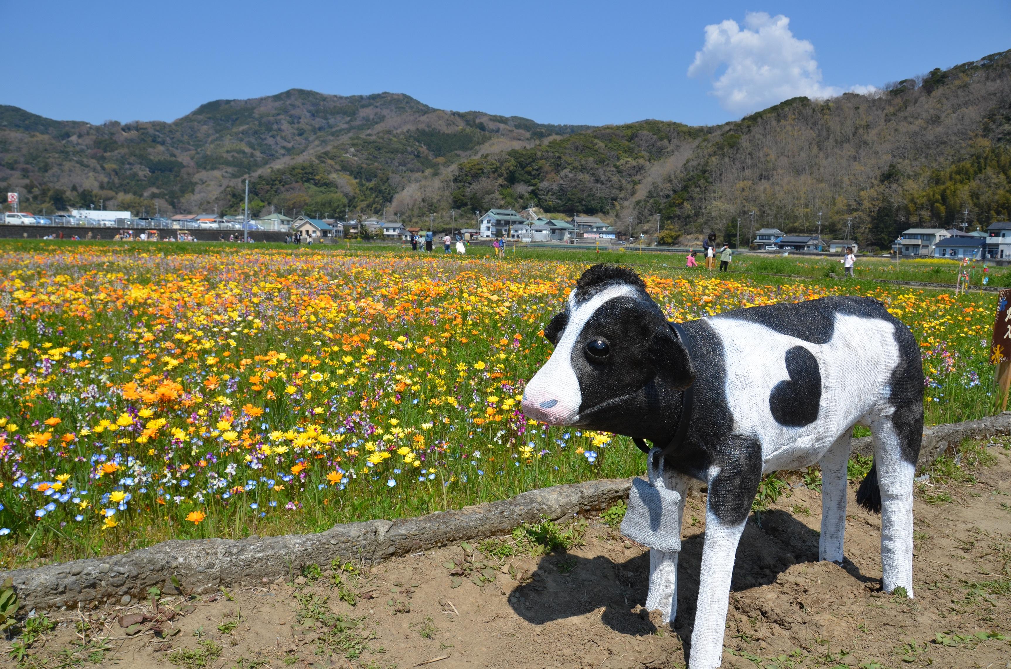田んぼを使った花畑に子牛が設置されました。