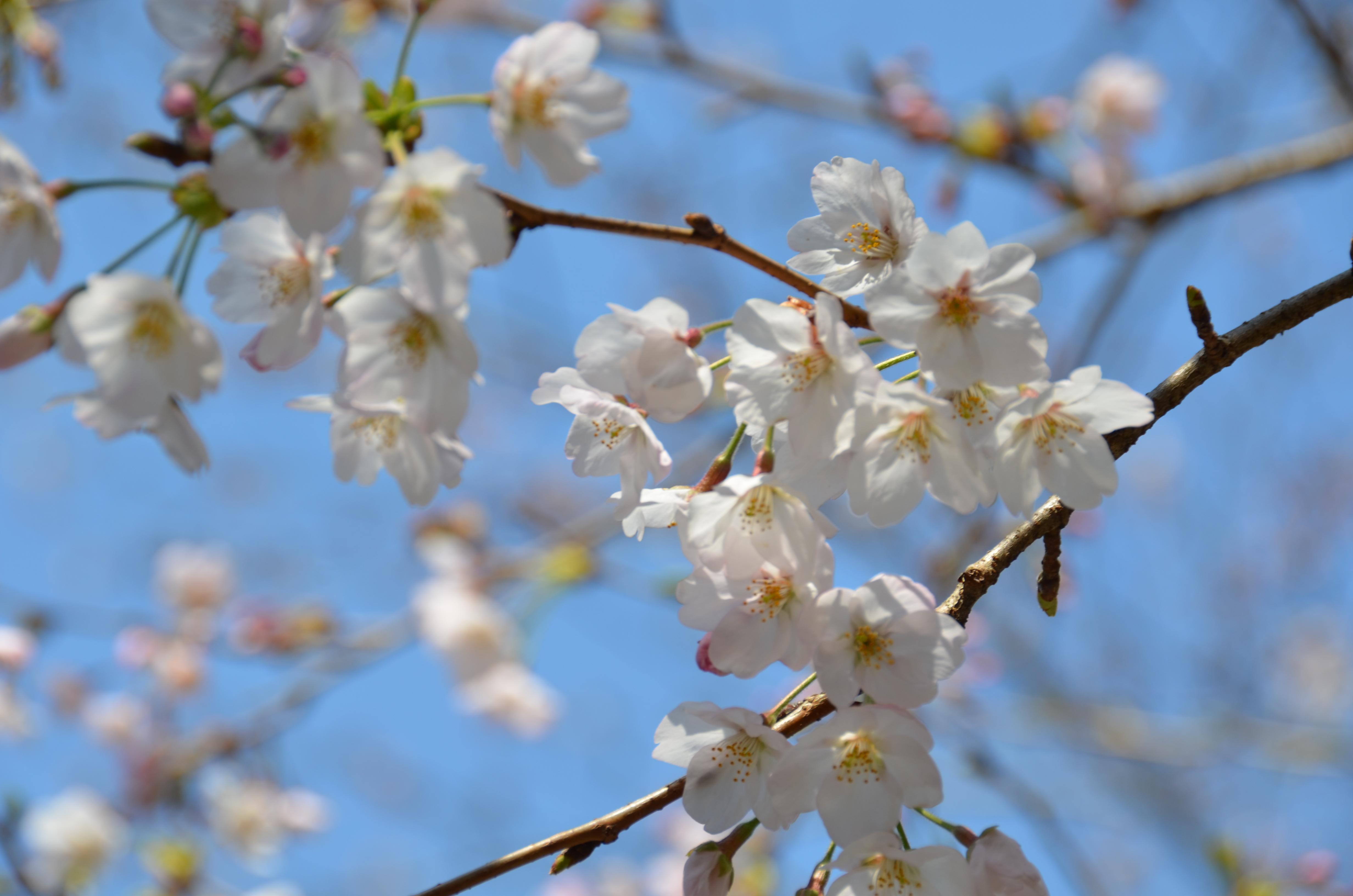 4/4(火)松崎町ソメイヨシノ開花状況です。