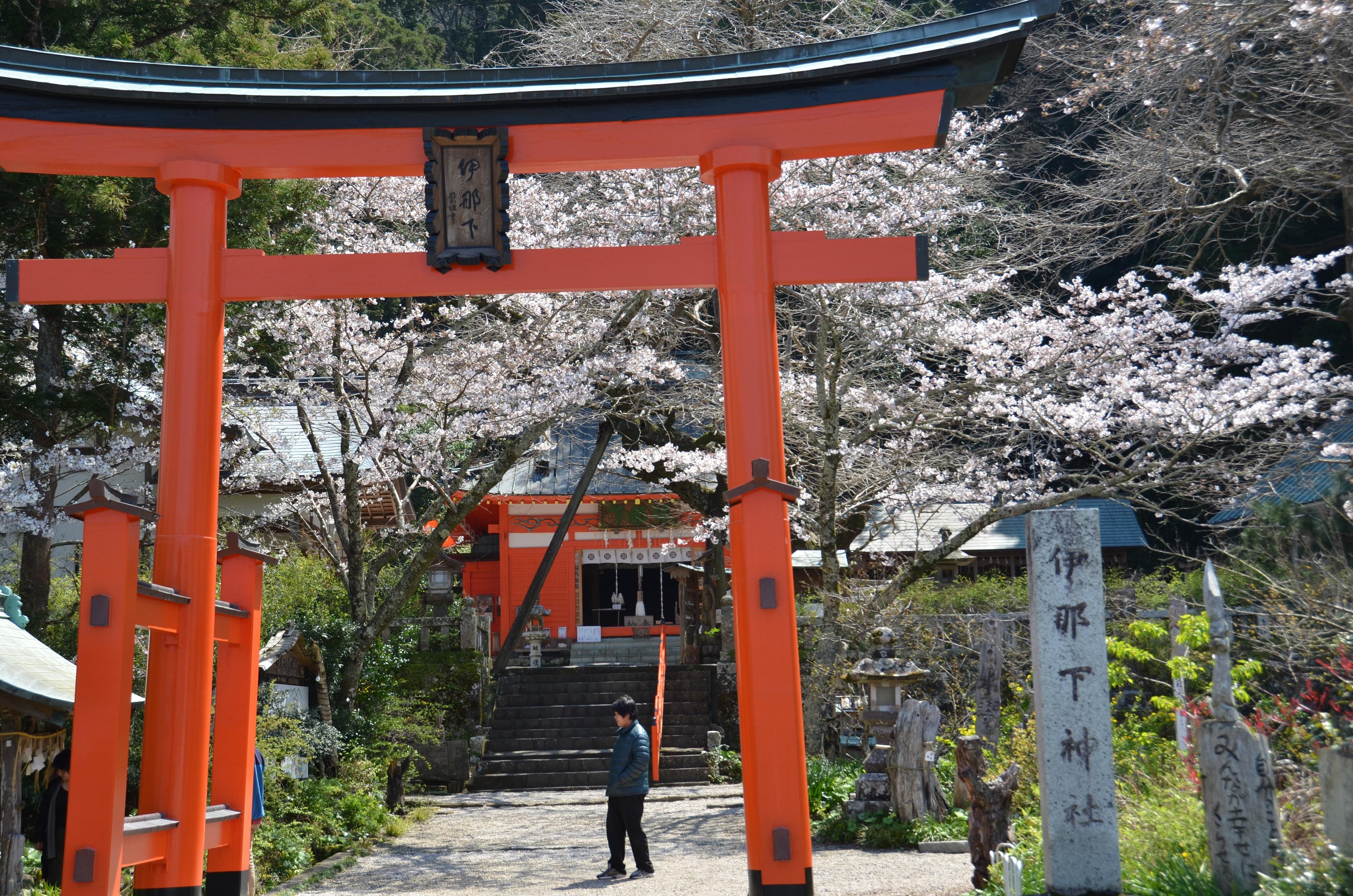 伊那下神社のソメイヨシノが綺麗に咲いています。