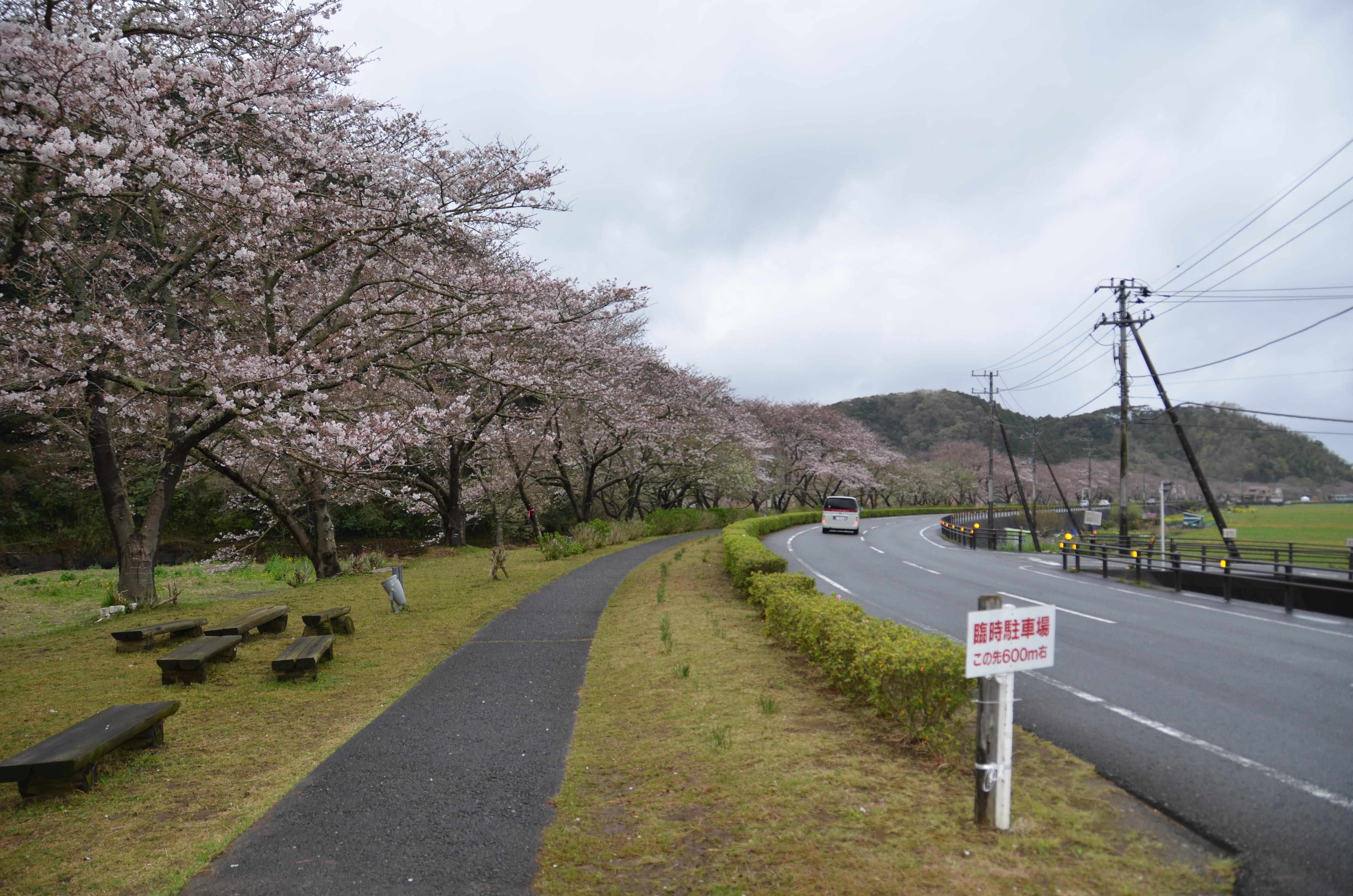 4/7(金)松崎町ソメイヨシノ開花状況です。