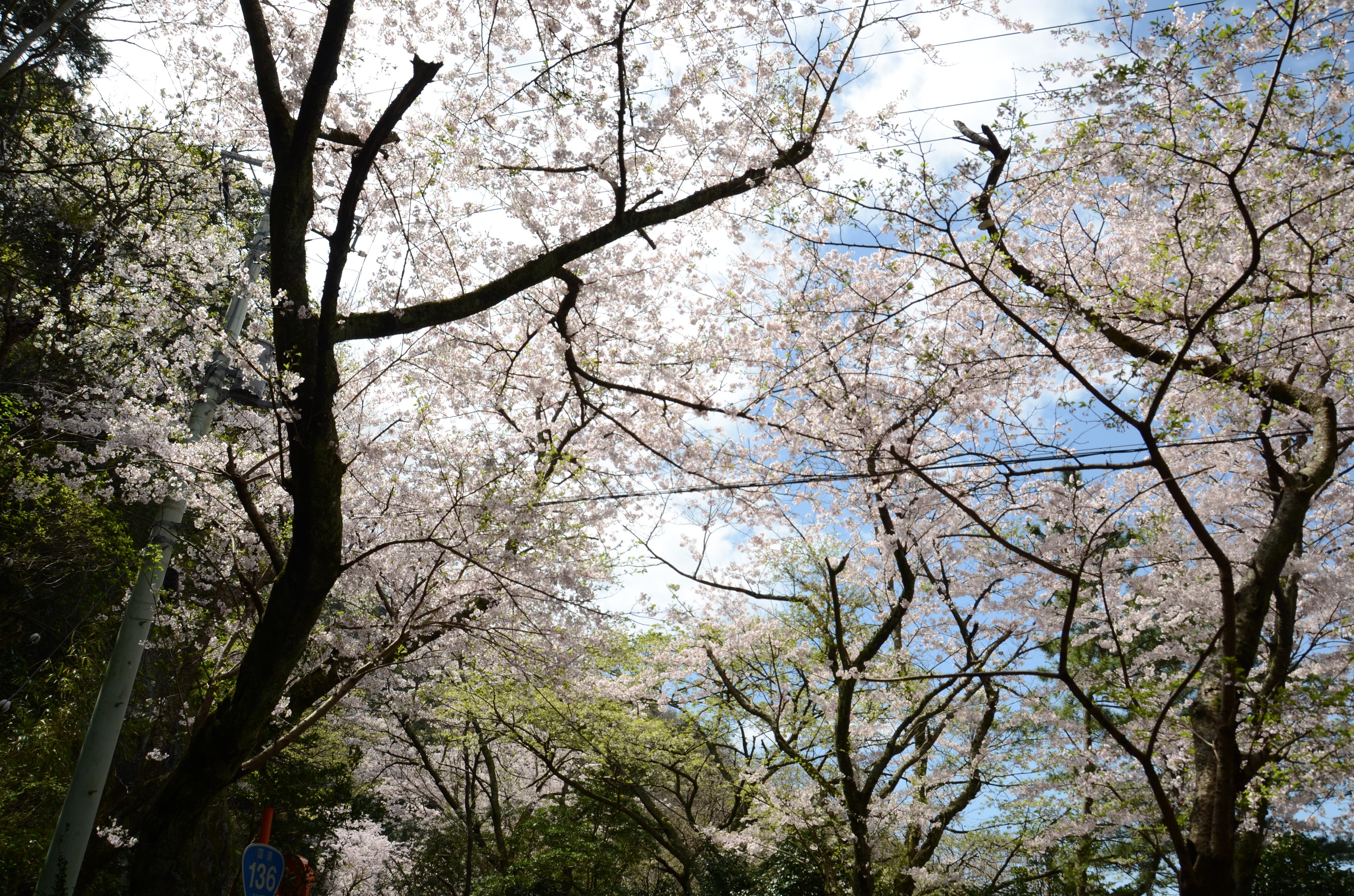 4/12(水)松崎町ソメイヨシノ開花状況です