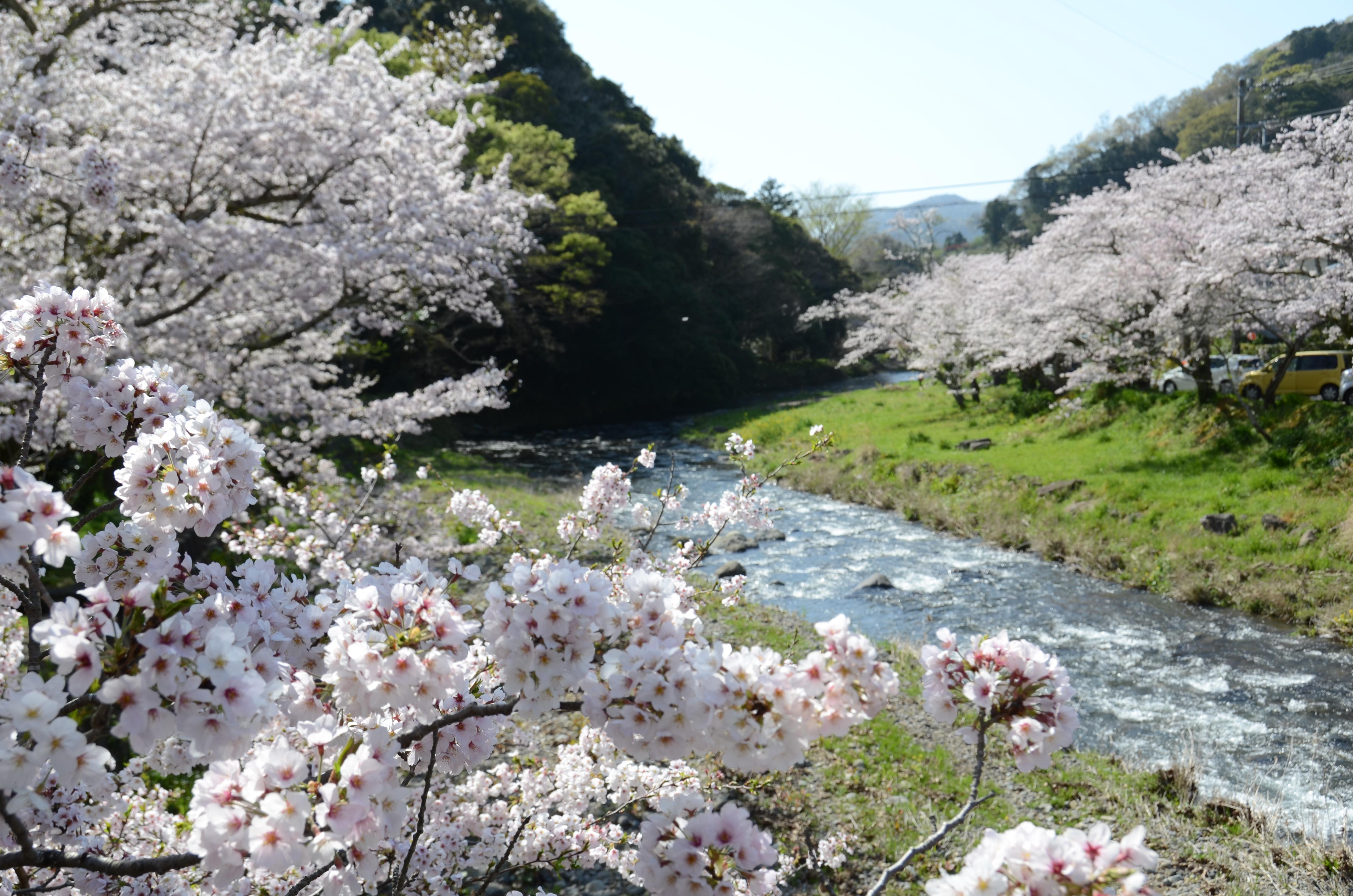 4/13(木)松崎町ソメイヨシノ開花状況です。