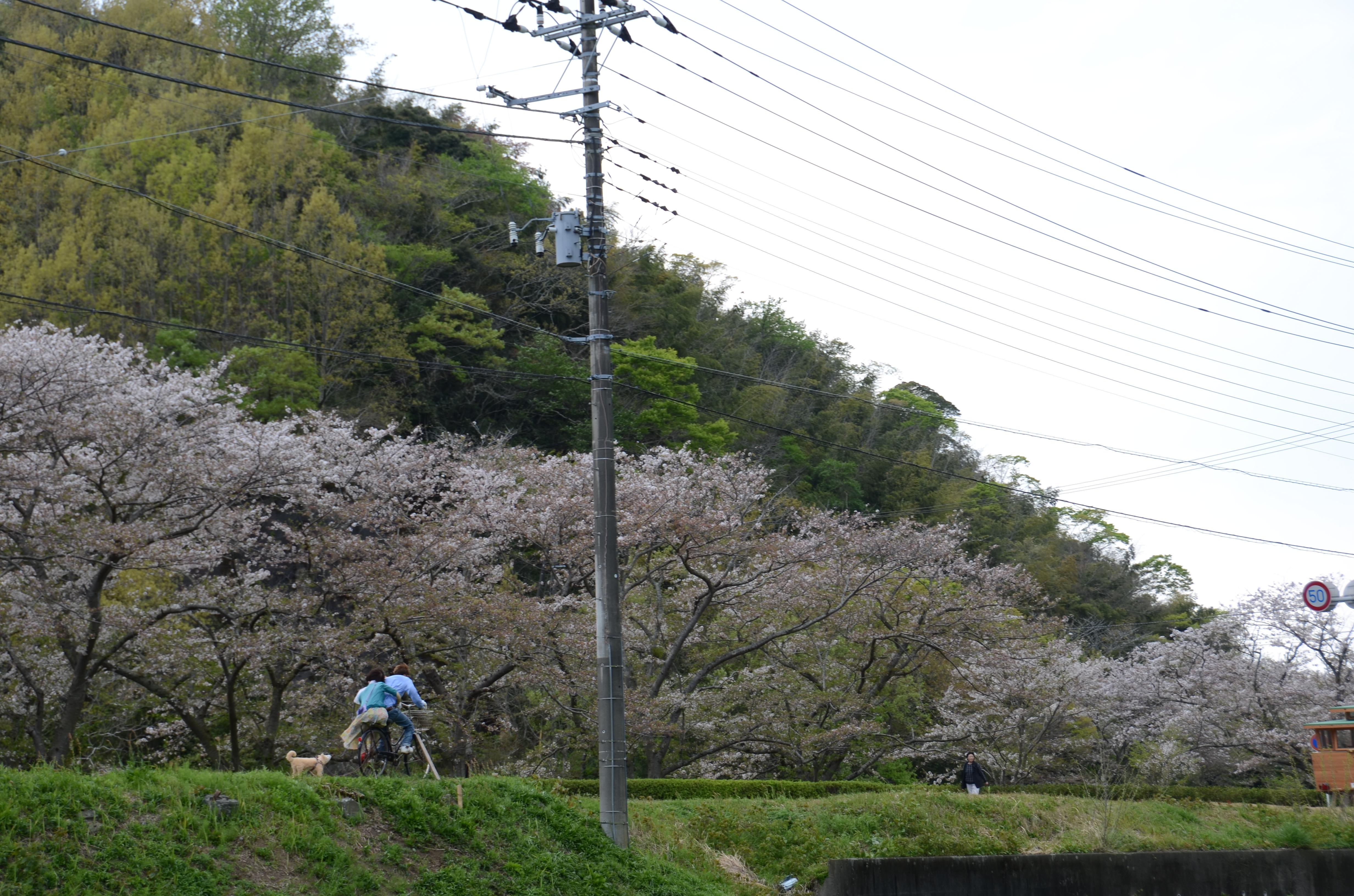 4/15(土)那賀川沿いのソメイヨシノ開花状況です