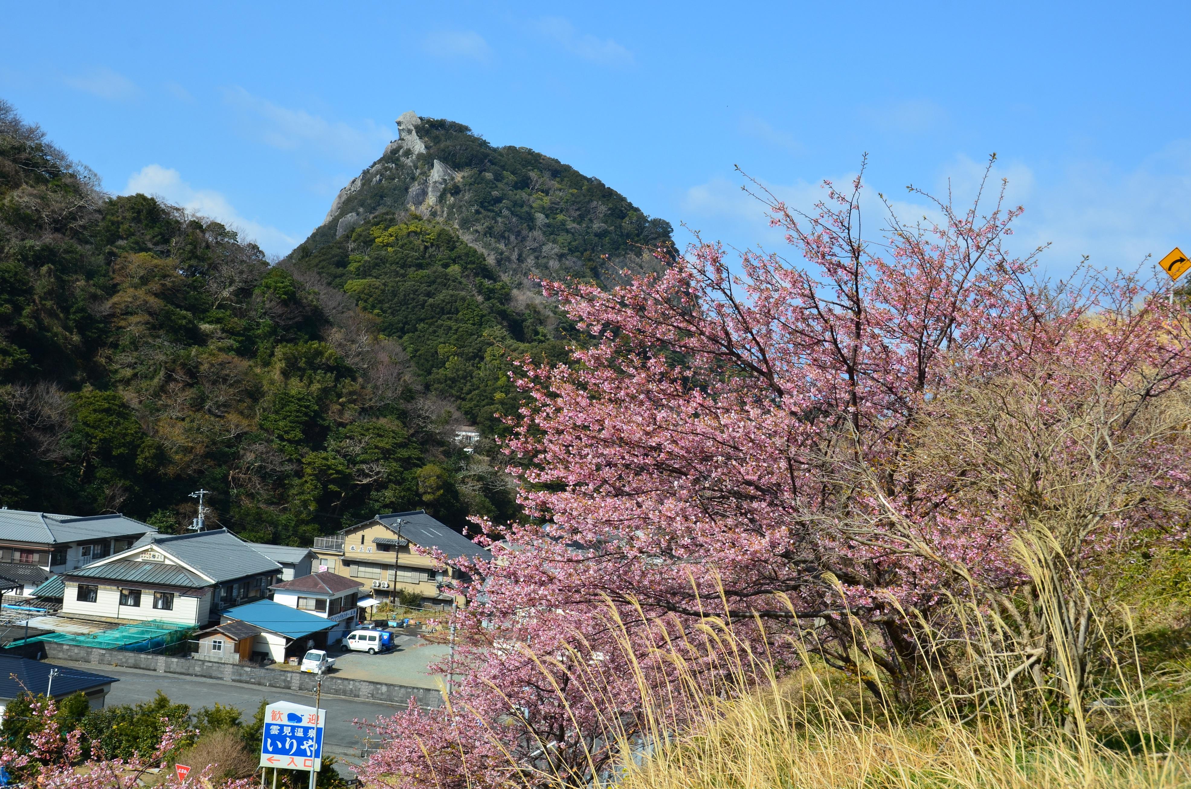 雲見入谷の河津桜が咲いています。