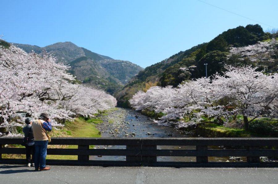 3/28(水)大沢温泉の桜(道の駅花の三聖苑付近)」の開花情報です。