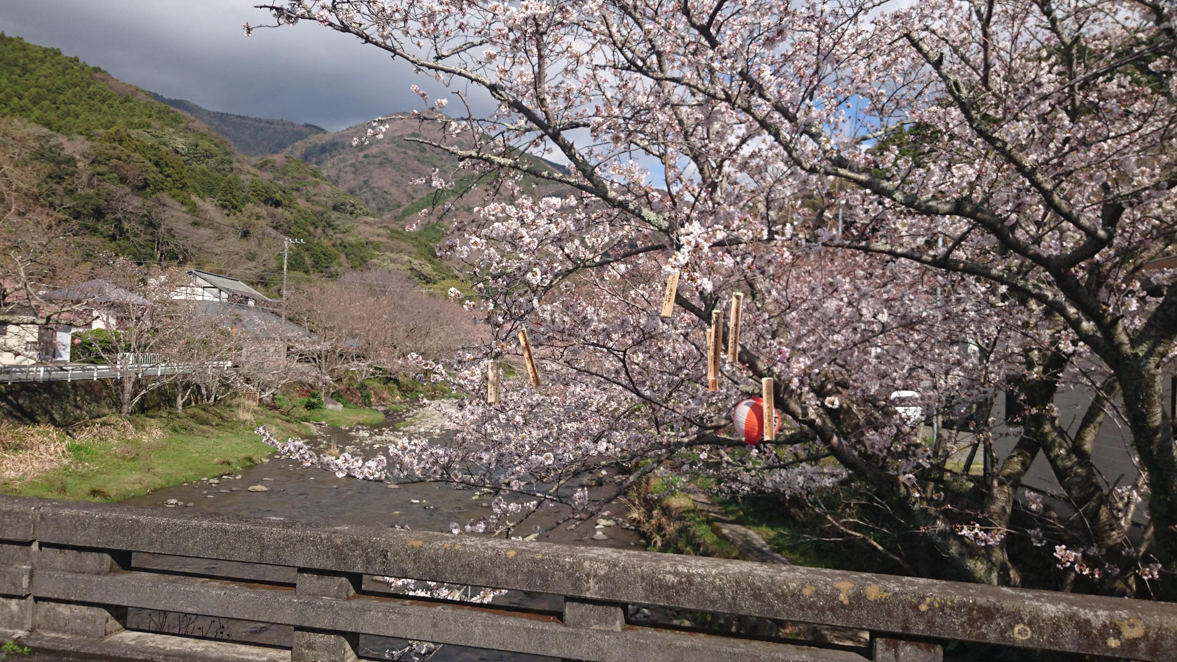 3/22(木)松崎町ソメイヨシノ開花状況です。