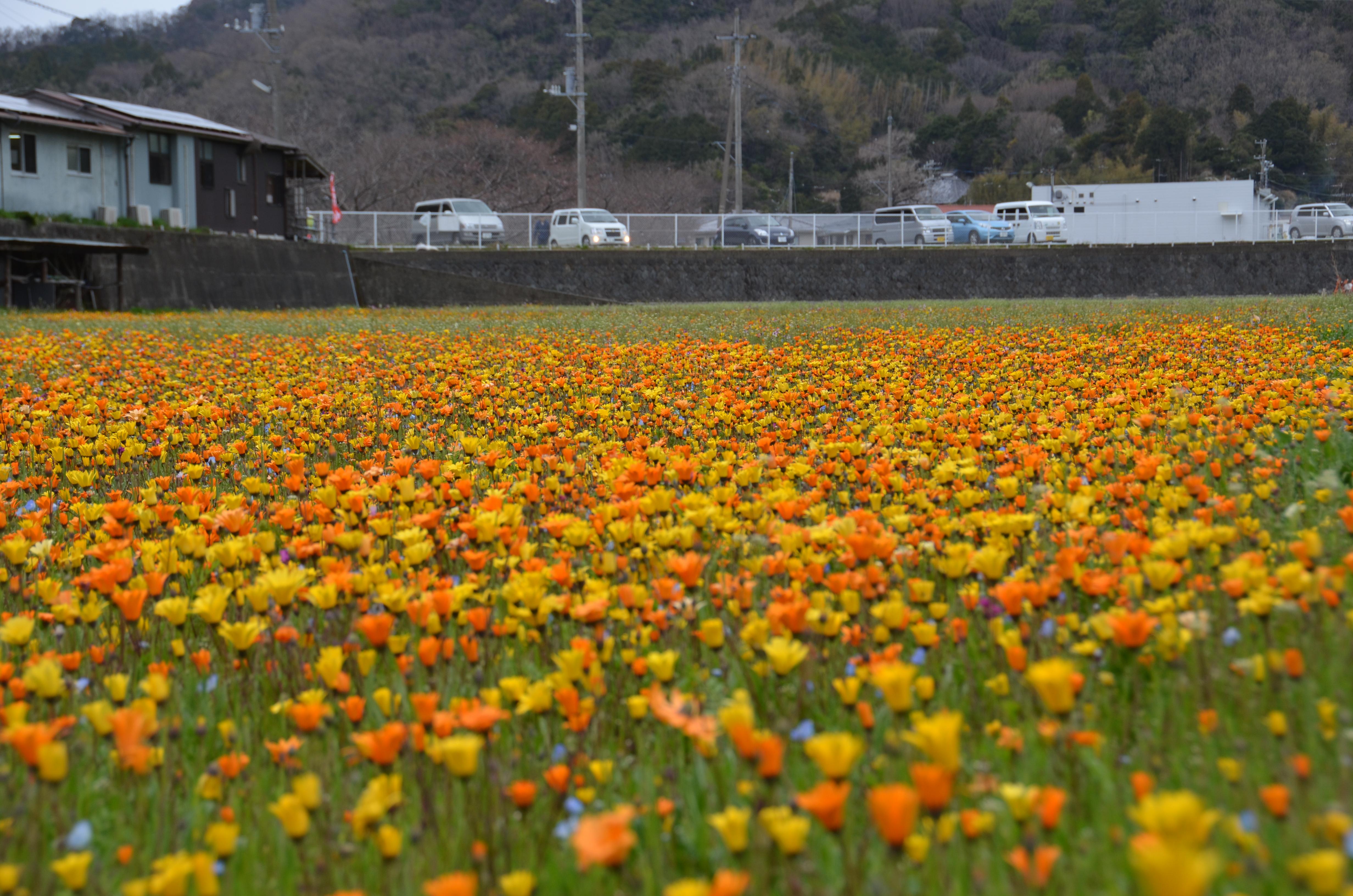 3/19(月)「田んぼを使った花畑」開花状況です。