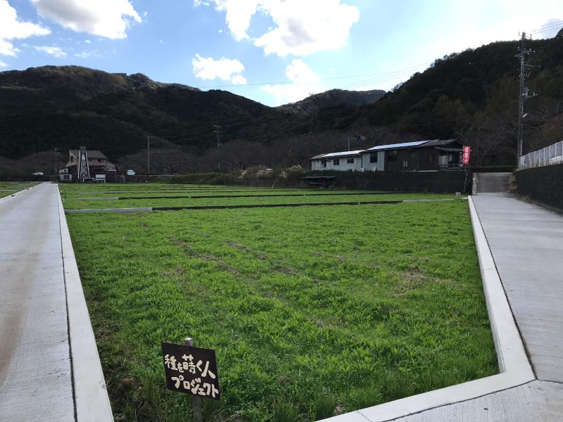【田んぼをつかった花畑】11/23 順調に育っています。
