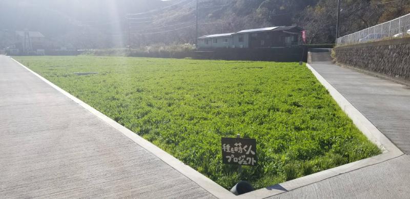 【田んぼをつかった花畑】12/18 すくすく育ってます。