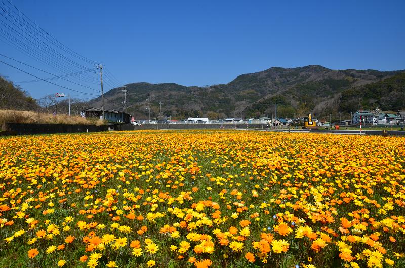 来年もこの景色が見たい。松崎町「田んぼをつかった花畑」継続へ!