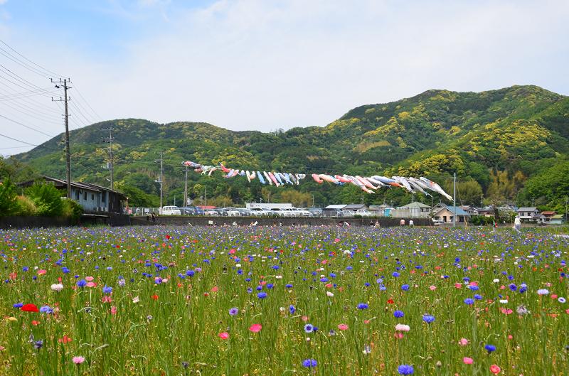 5/1~5/5「田んぼをつかった花畑 無料花摘み」が開催されます。