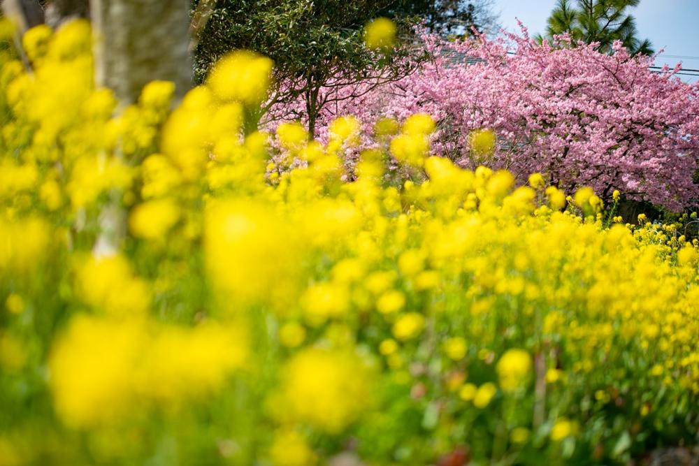 【松崎の春】花々が一斉に色づいてきました