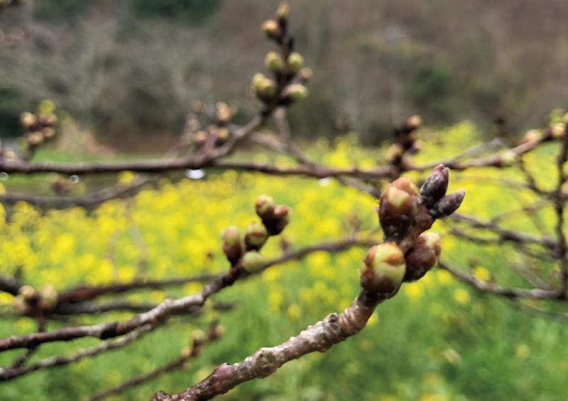 【那賀川沿いの桜並木(大沢温泉)】2019年3月21日(木)開花の予兆です♪