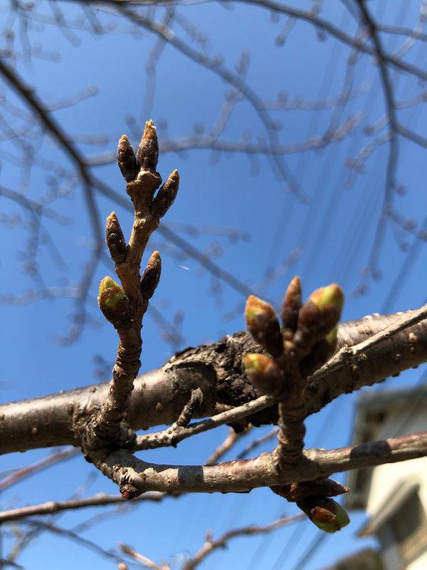 【那賀川沿いの桜並木】2019年3月12日(火)つぼみがまだ固いです。
