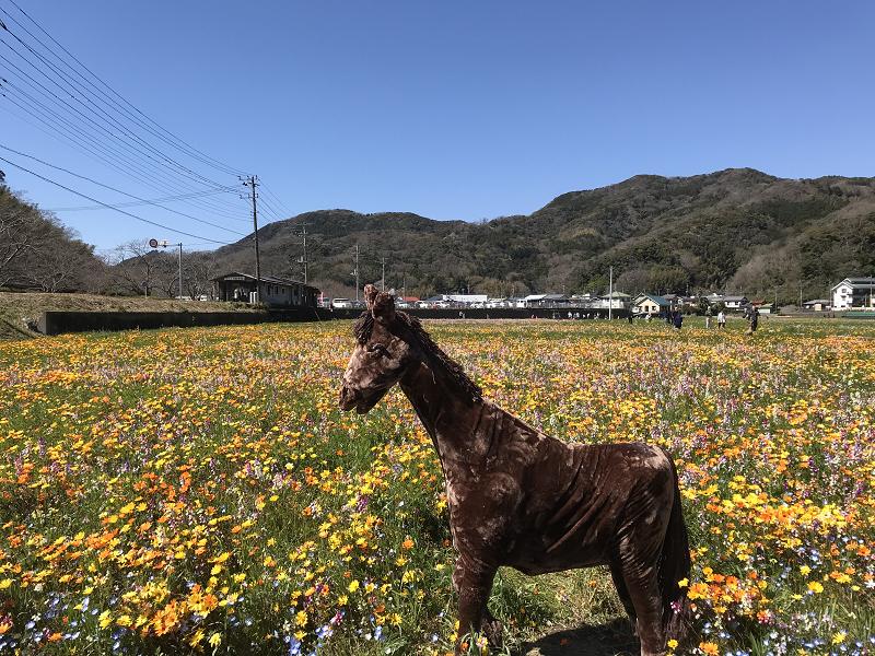 【田んぼをつかった花畑】2019年3月24日(日)開花情報です。