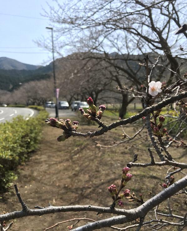 【那賀川沿いの桜並木】2019年3月25日(月)開花情報です。