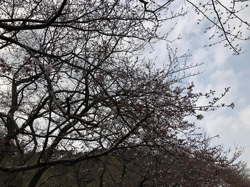 【那賀川沿いの桜並木】2019年3月29日(金)開花情報です♪