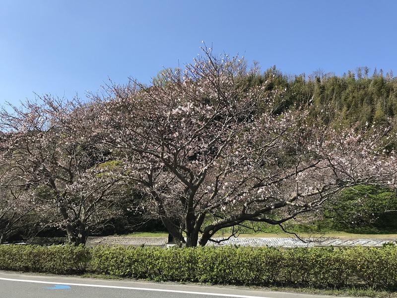 【那賀川沿いの桜並木】2019年3月31日(日)開花情報です♪
