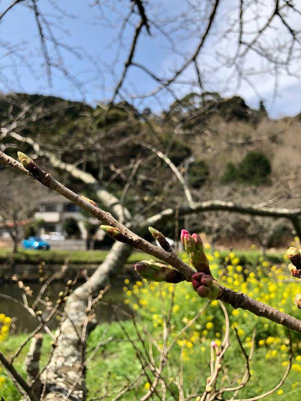 【那賀川沿いの桜並木】2019年3月22日(金)開花情報です。