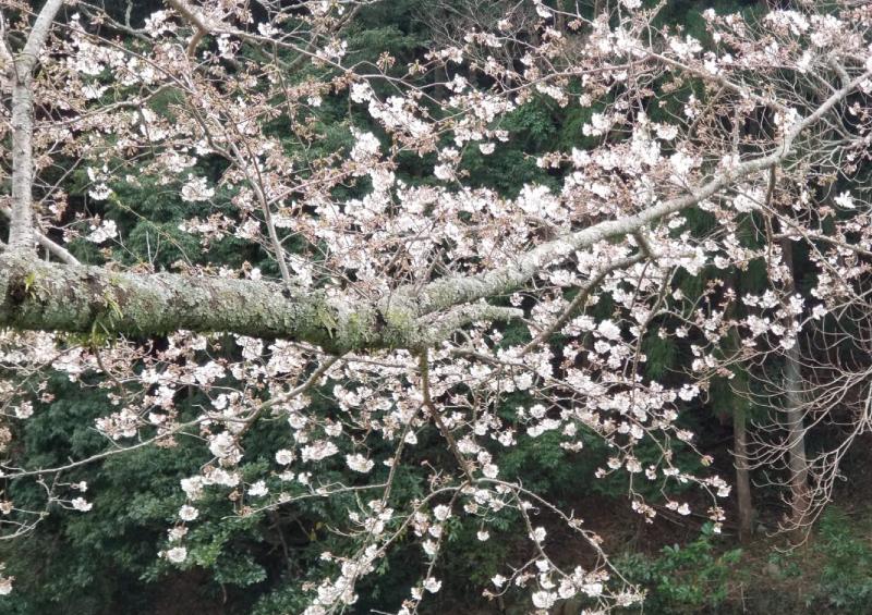 【那賀川沿いの桜並木】2019年3月28日(木)開花情報です♪