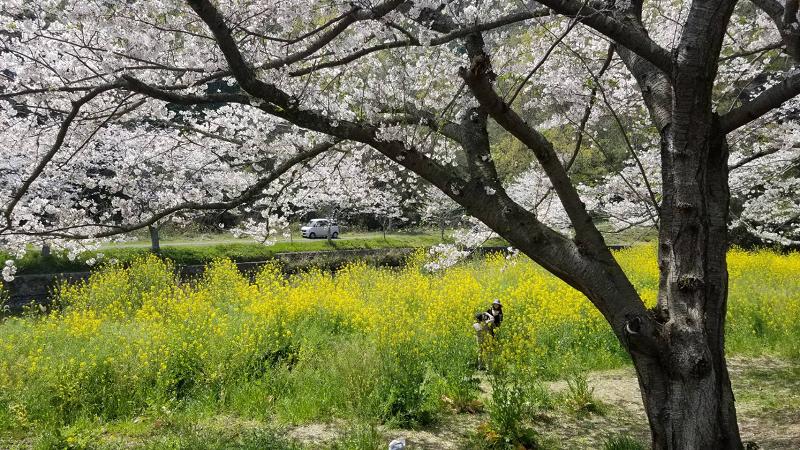 【那賀川沿いの桜並木】2019年4月6日(土)開花情報です!
