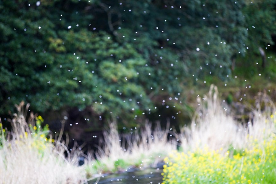 【松崎の桜】桜吹雪が美しく儚いですね