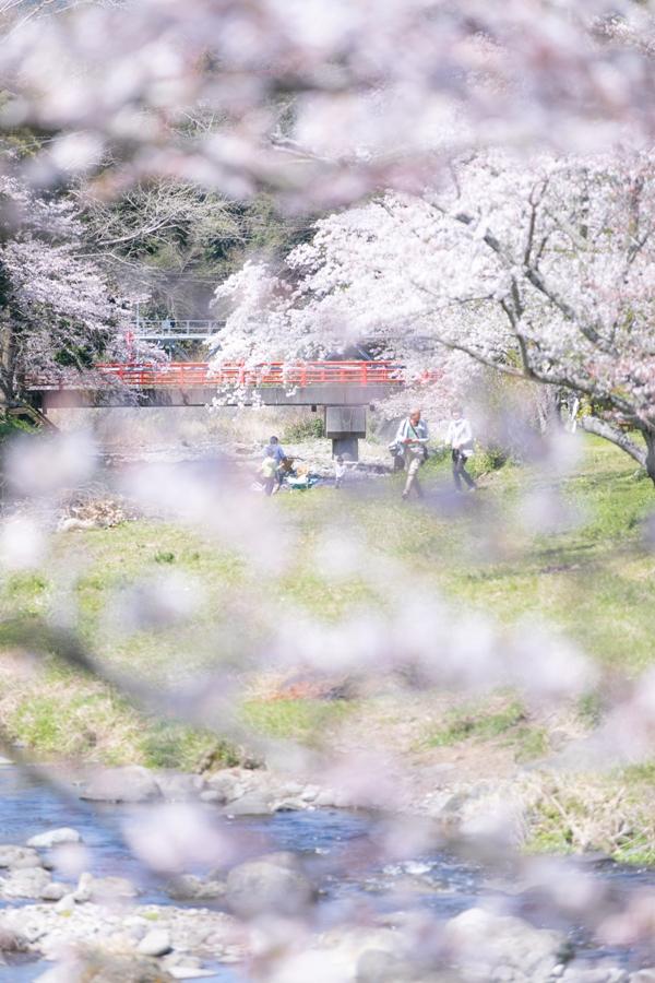 【桜の開花状況】大沢温泉