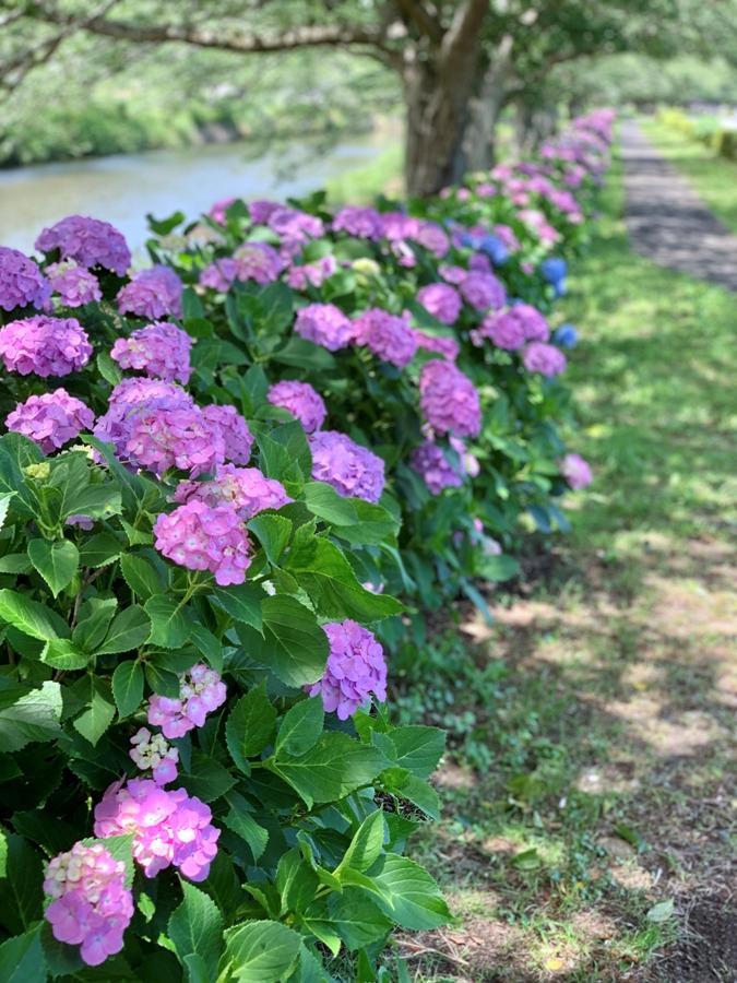 【那賀バイパス沿い】紫陽花の開花状況