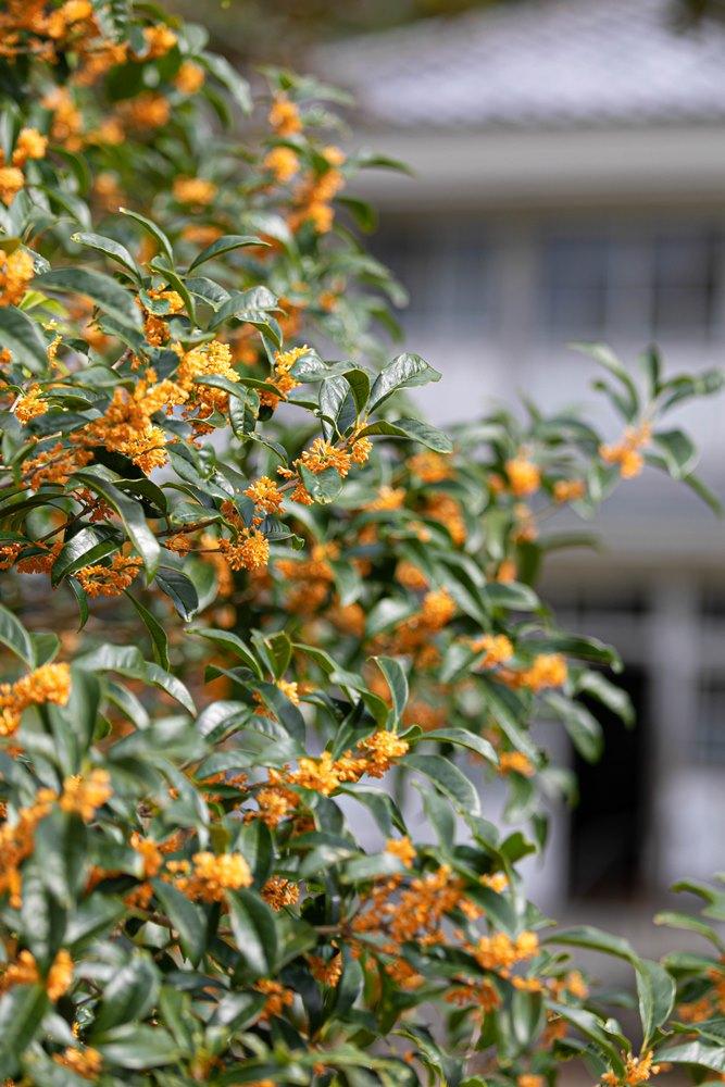 【秋の香り】キンモクセイ