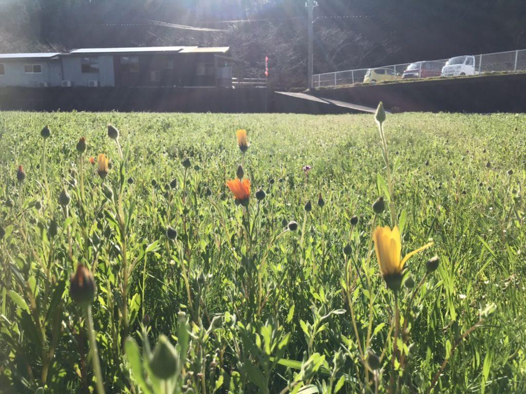 【田んぼをつかった花畑】1/30 アフリカキンセンカ、姫金魚草が開花し始めました。