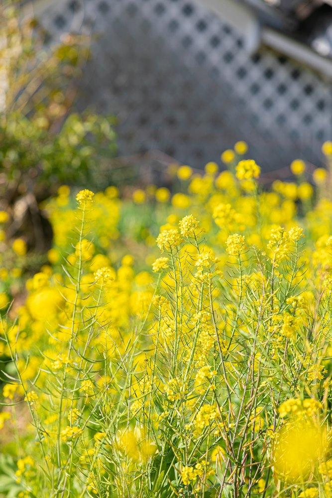 【早春の彩り】菜の花が咲き始めました