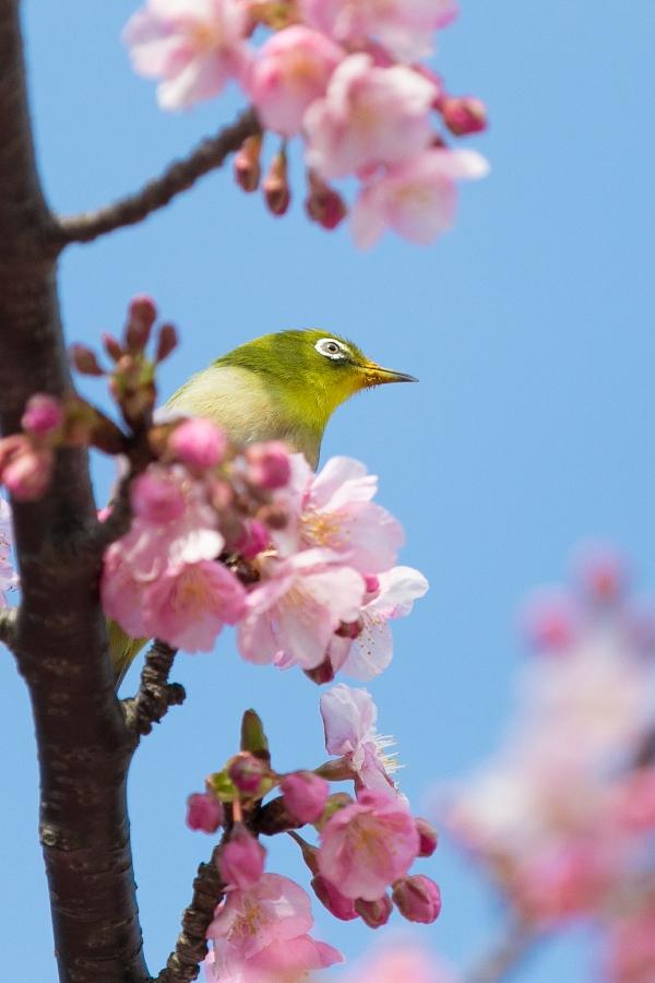 【河津桜】野鳥も喜び春が近い