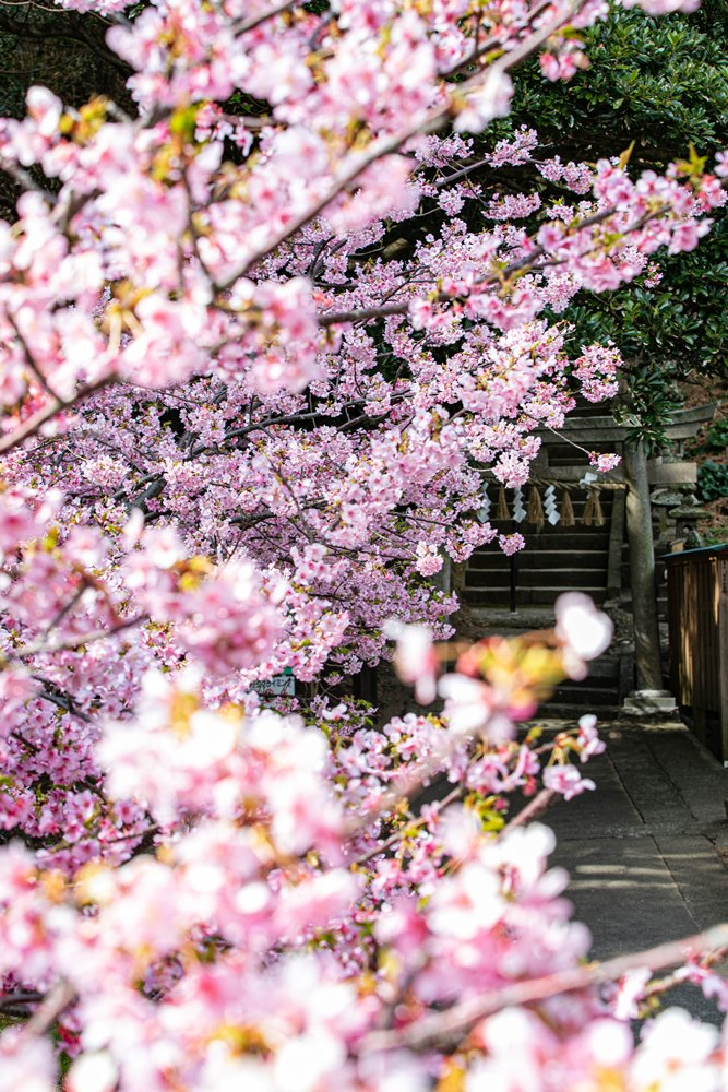 【雲見温泉】桜が見ごろです