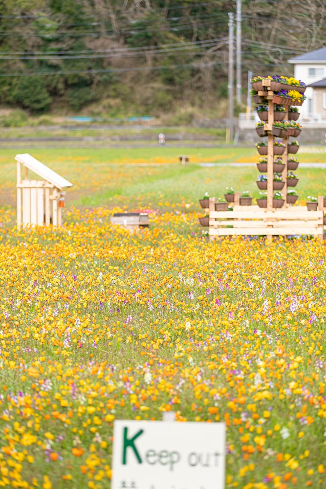 【開花状況】本日の田んぼをつかった花畑