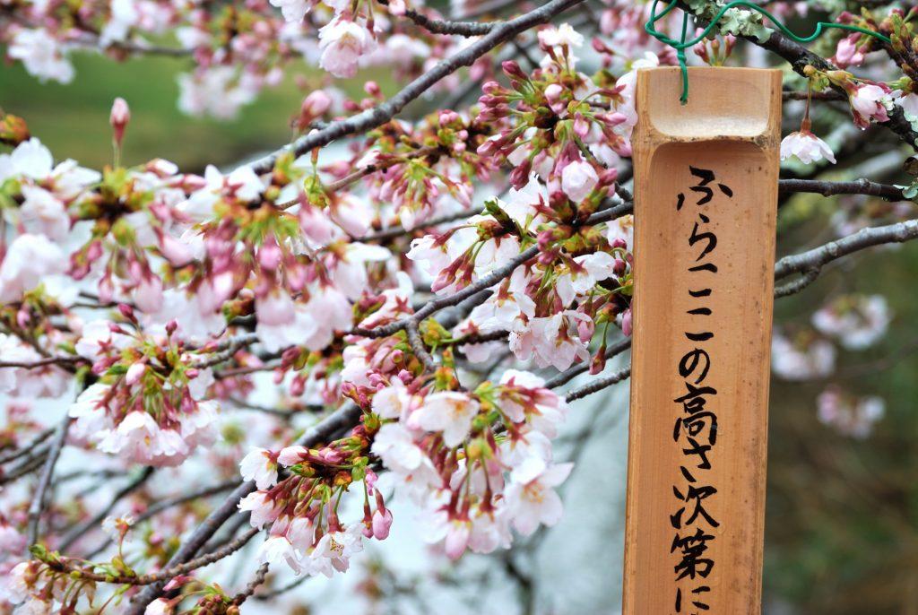 3/28【桜開花状況】