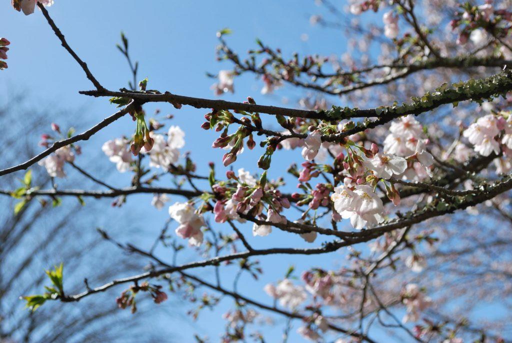 3/29【桜開花状況】