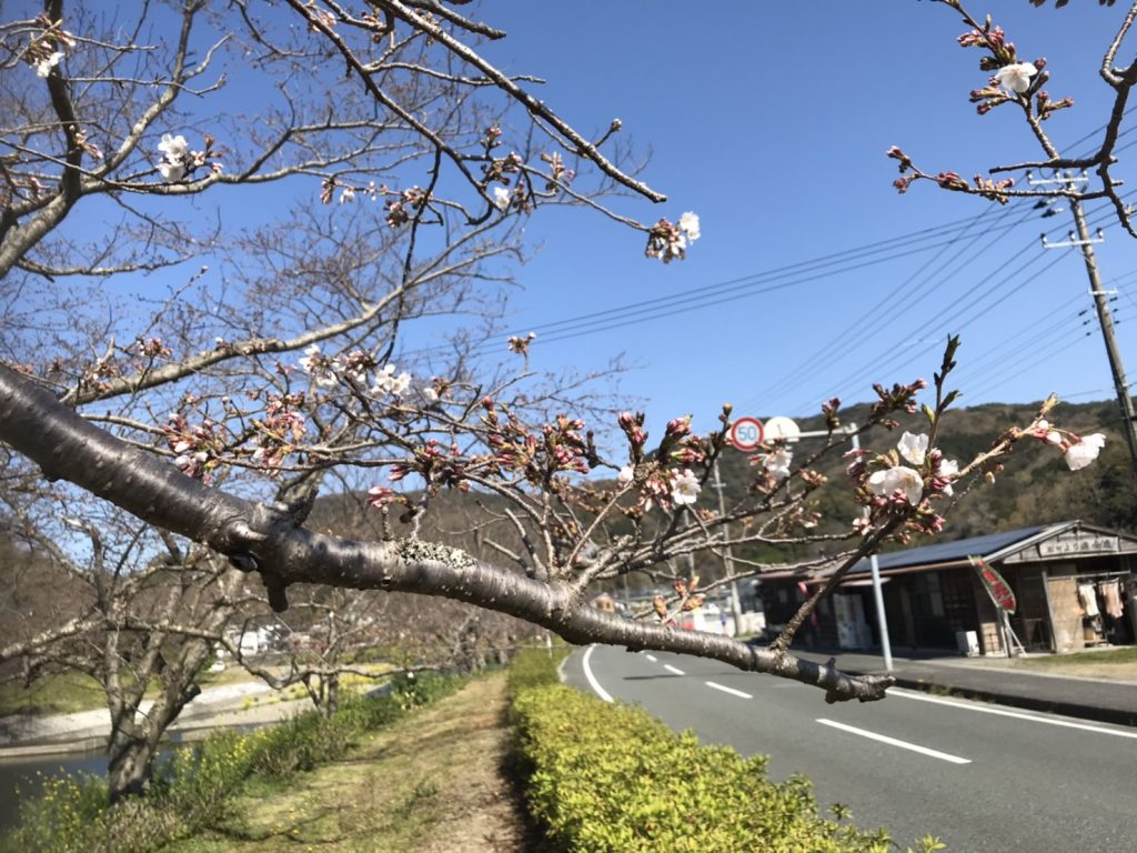 3/26【桜開花情報】