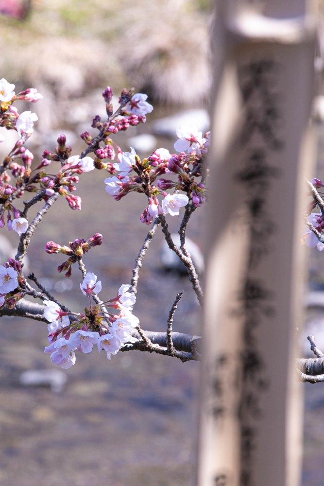 【大沢温泉の桜】咲き始めています。