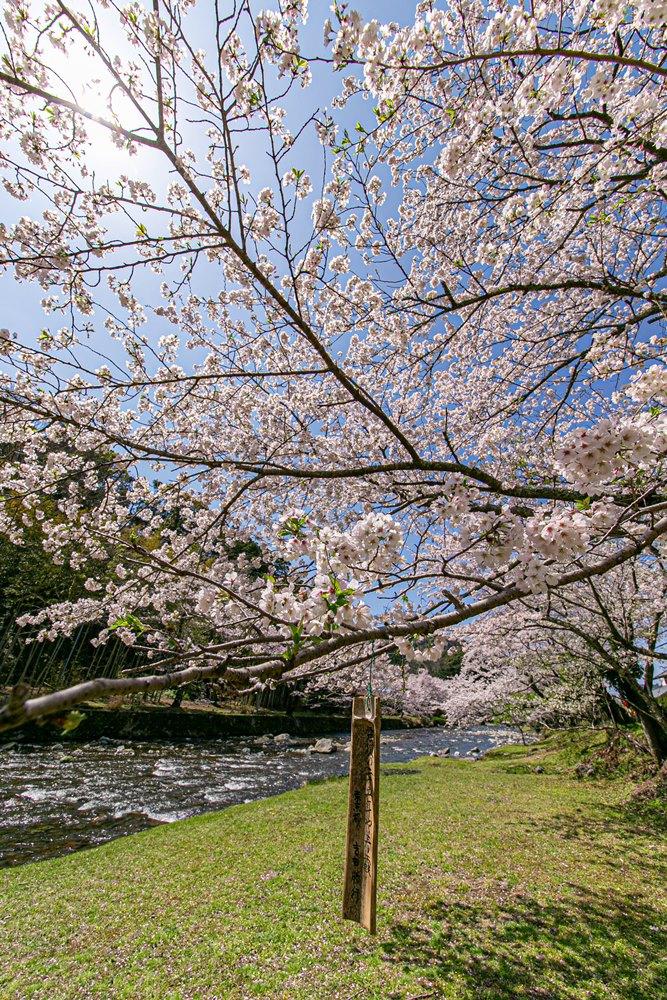 【大沢温泉】那賀川のせせらぎとソメイヨシノ